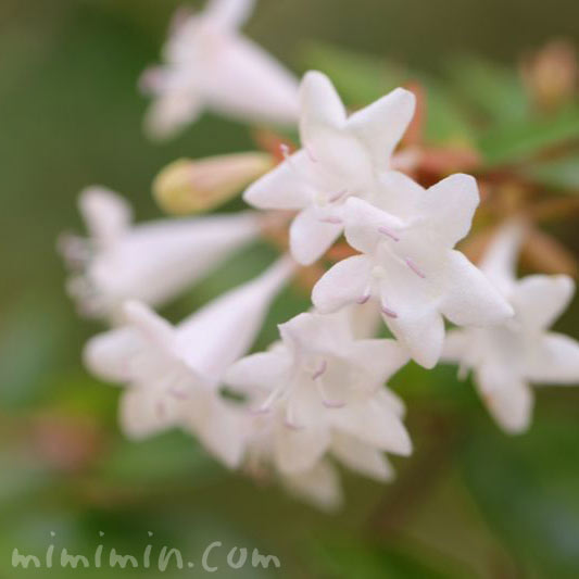 アベリアの花の写真