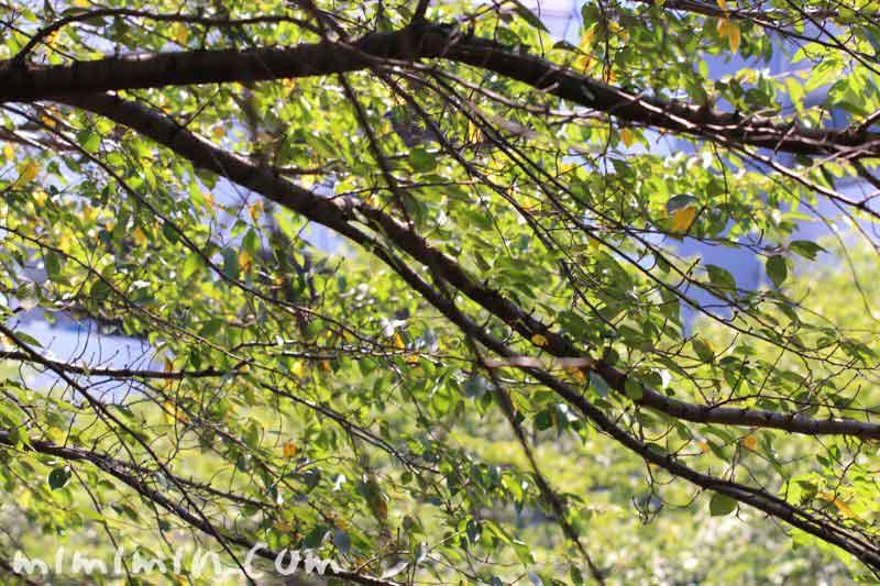 桜の木 目黒川の散歩の写真