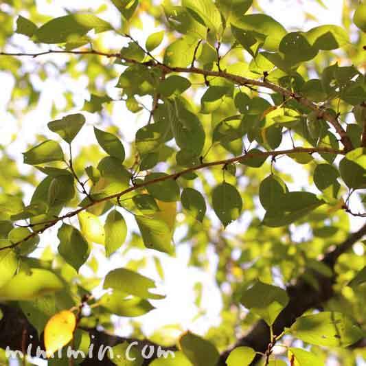 桜の葉っぱ 目黒川の写真