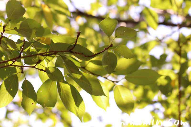 桜の葉 目黒川の画像