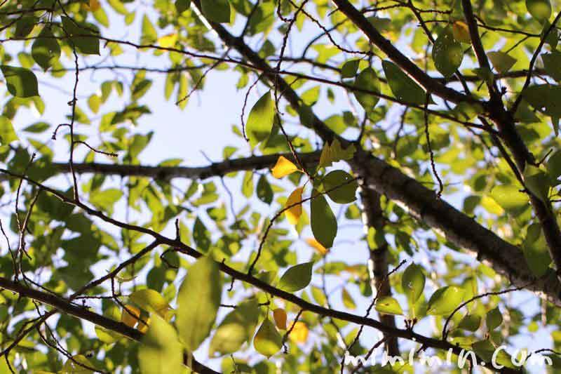 目黒川の桜の木の写真