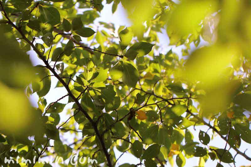 目黒川の桜の葉の写真