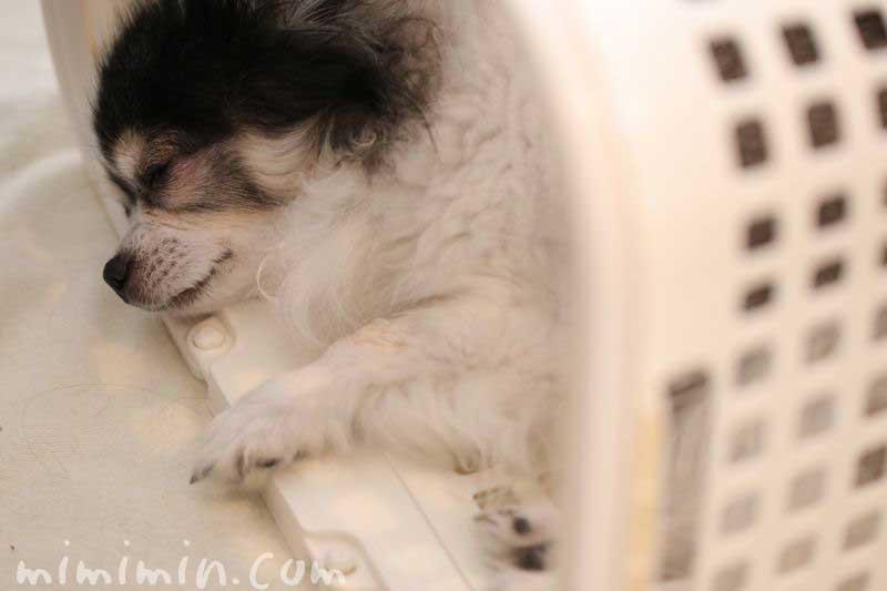 白黒チワワの寝顔の画像