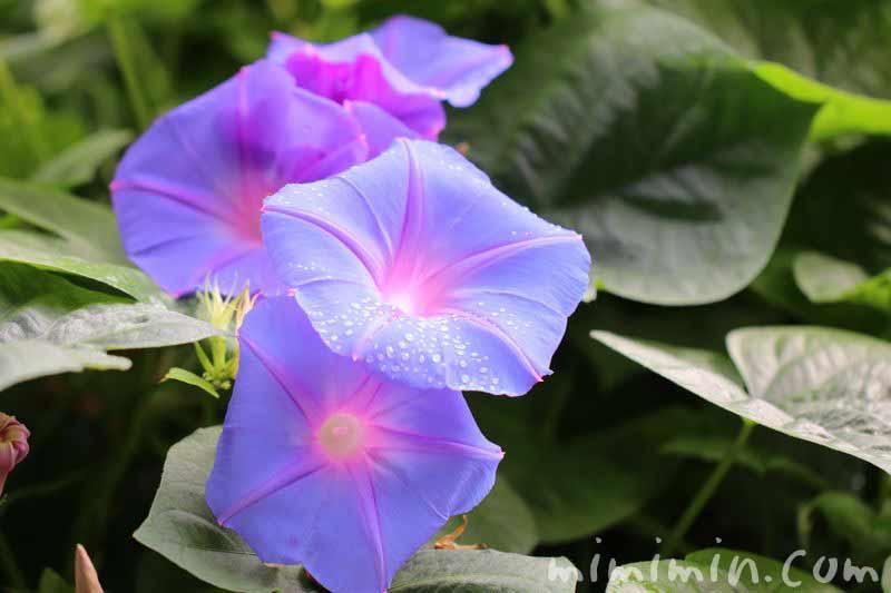 アサガオの花・青の画像