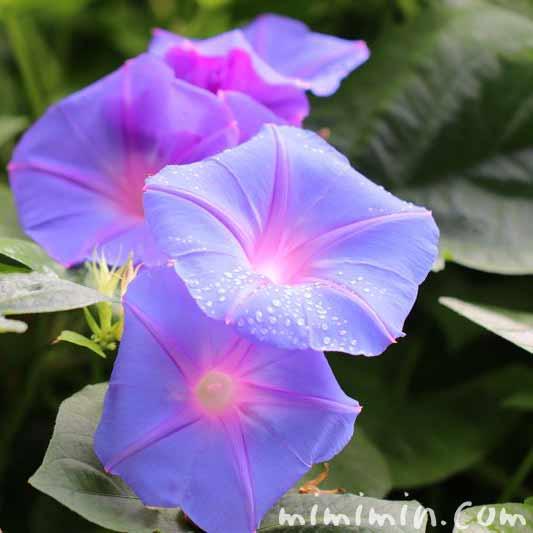 アサガオ・青の画像