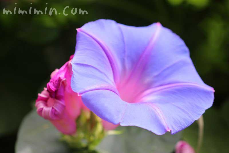 青色のアサガオの写真