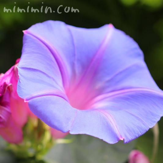 青色のアサガオの花の画像