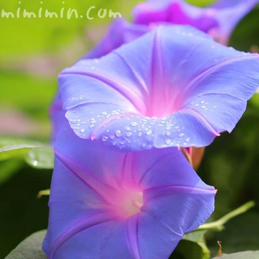 雨上がりのアサガオの花の写真
