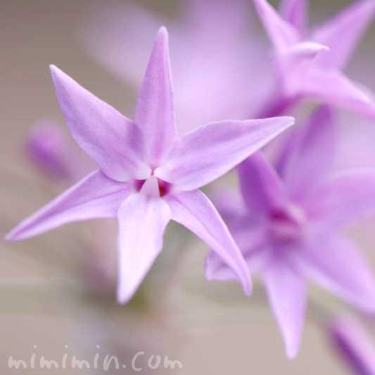 ツルバキア(紫)