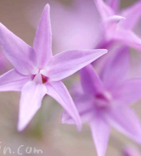 ツルバキアの花の写真・花言葉・名前の由来
