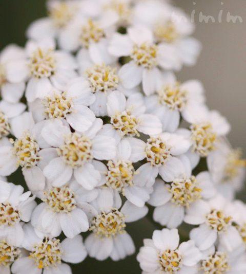 セイヨウノコギリソウ(ヤロウ)の花の写真・花言葉・効能