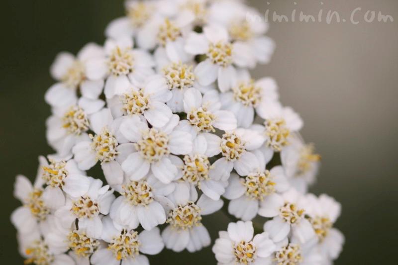 セイヨウノコギリソウの写真 花言葉
