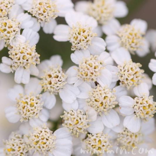 ヤロウの花の写真・花言葉の画像
