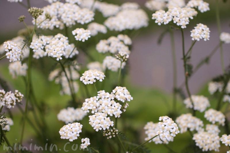 セイヨウノコギリソウの花の写真と花言葉