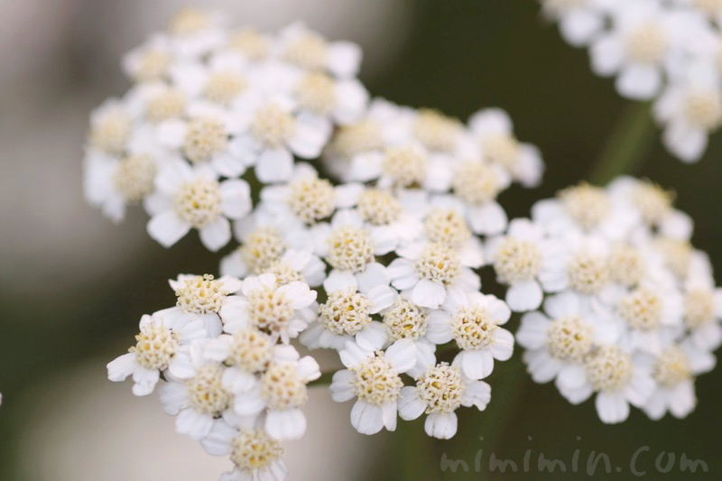 セイヨウノコギリソウの花の写真・花言葉の画像