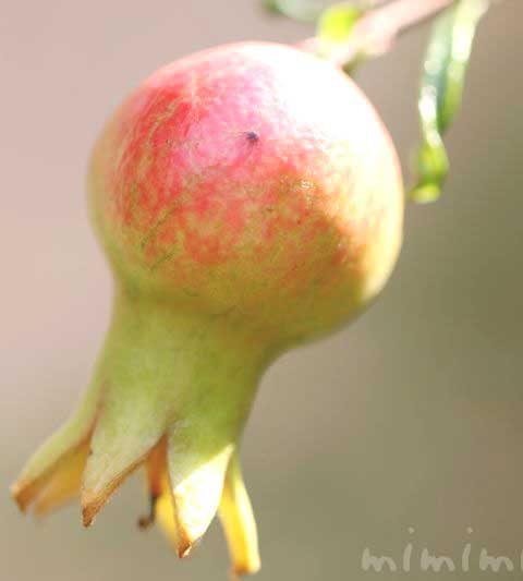 ザクロの実の写真・花言葉・名前の由来・誕生花
