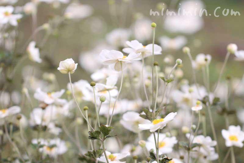 秋明菊(白)の花言葉と誕生花の画像