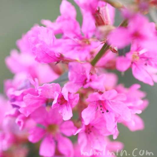 ミソハギの花言葉の画像