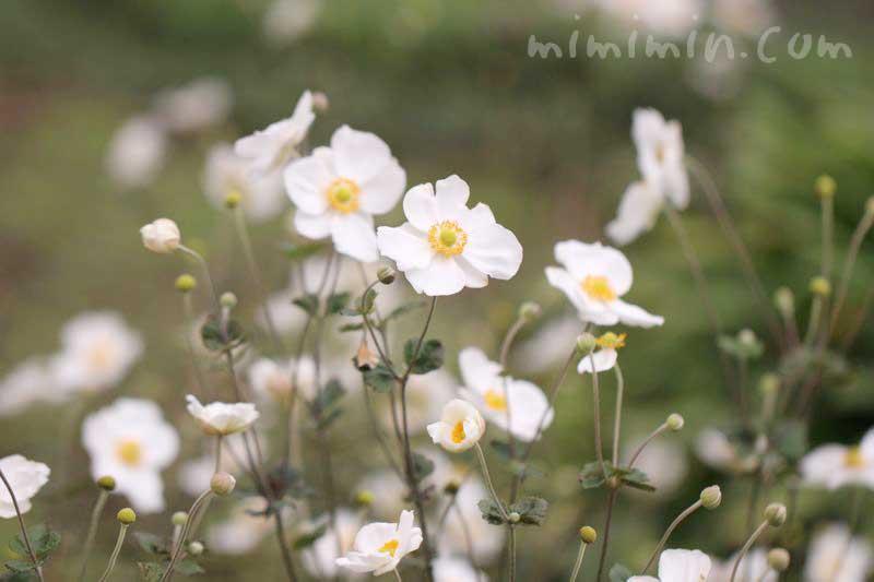 秋明菊(白)の花言葉 誕生花