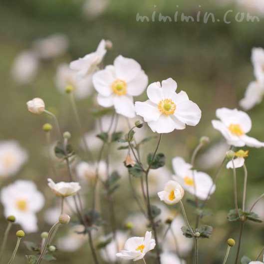 シュウメイギクの花言葉と誕生花