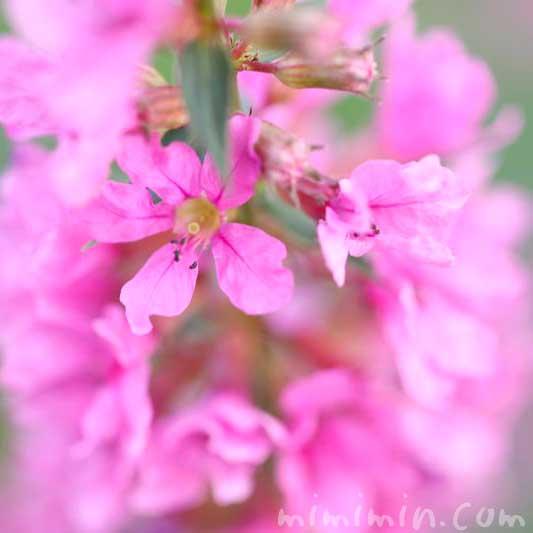ミソハギの誕生花