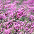 ミソハギの花