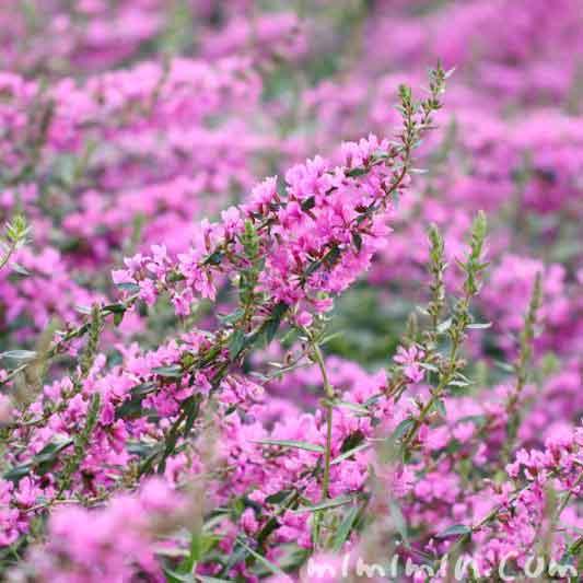 ミソハギの花言葉