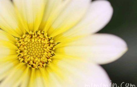 ガザニア(黄色)の写真