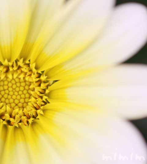 ガザニアの花の写真・花言葉・名前の由来・誕生花