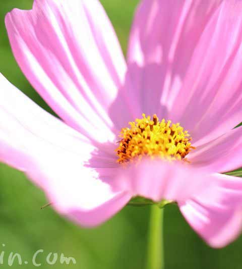 コスモスの花言葉(色別の花言葉)・名前の由来・コスモスの写真
