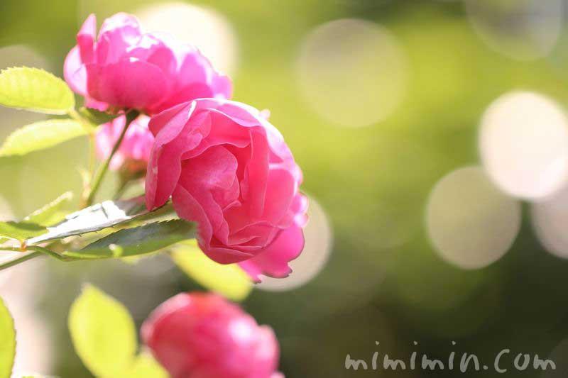 バラの誕生花