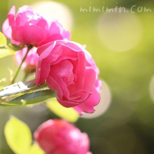 薔薇の花言葉