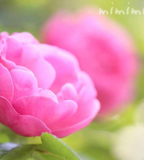 バラの花言葉・名前の由来・薔薇の花の写真