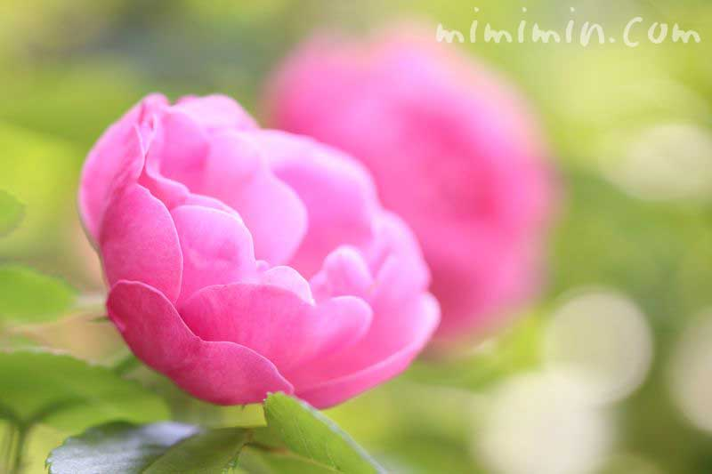 薔薇の誕生花