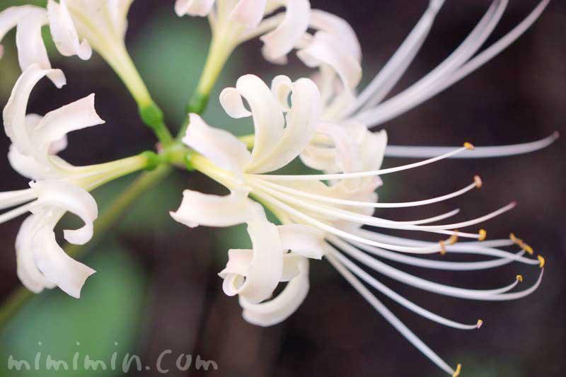 シロバナマンジュシャゲの花