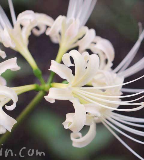 シロバナマンジュシャゲ(リコリス)の花の写真・花言葉・名前の由来