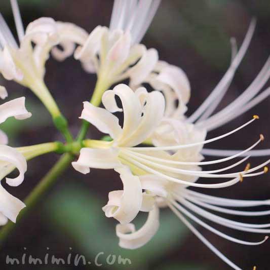 白花彼岸花の写真