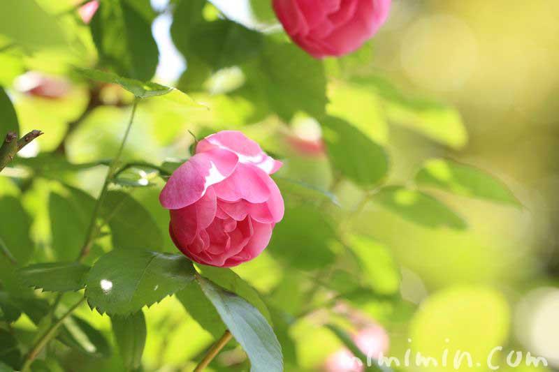 ピンクの薔薇の花言葉の写真