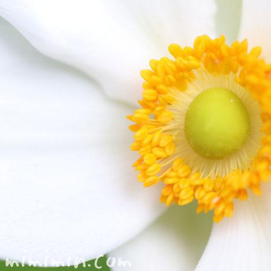 秋明菊・シュウメイギク(白)の画像