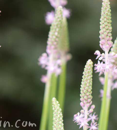ツルボ(蔓穂)の花の写真・花言葉・名前の由来