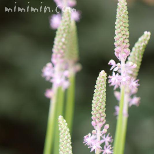 ツルボの花の写真