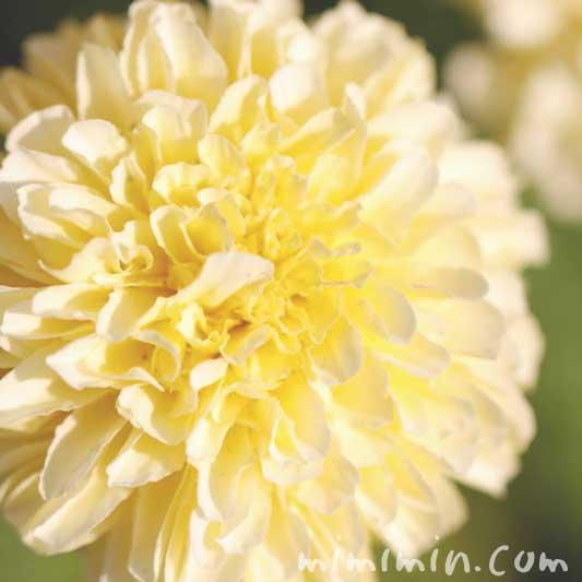 マリーゴールドの花・レモンイエローの写真
