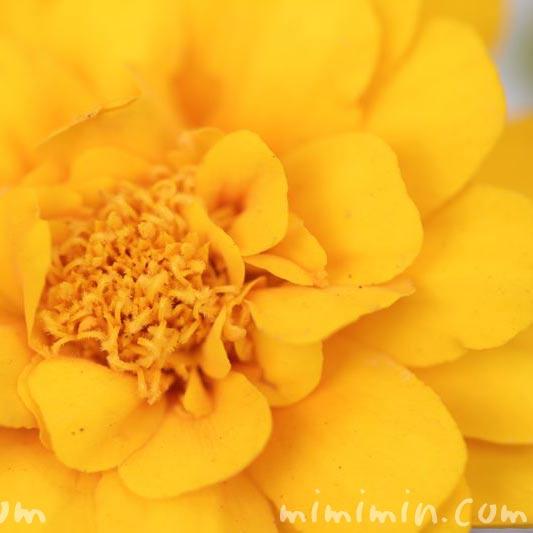 センジュギクの花の写真