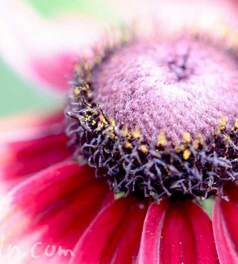 ルドベキアの花言葉・名前の由来・花の写真