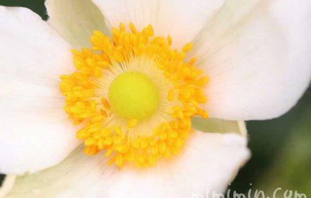秋明菊の花