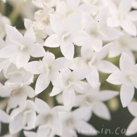 ペンタス(白色)の画像と花言葉の写真