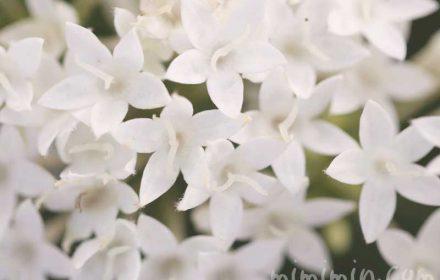 白いペンタスの花の写真と花言葉