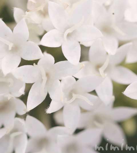 ペンタスの花言葉・名前の由来・白いペンタスの花の写真