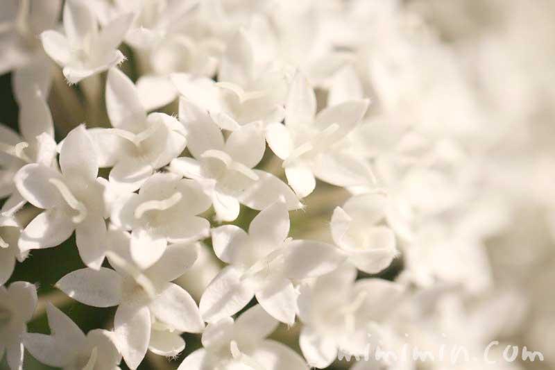 白いペンタスの花の写真・花言葉の画像