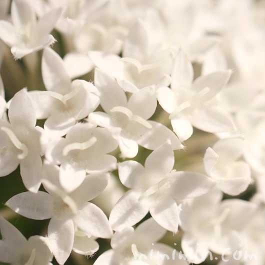 白いペンタスの写真と花言葉